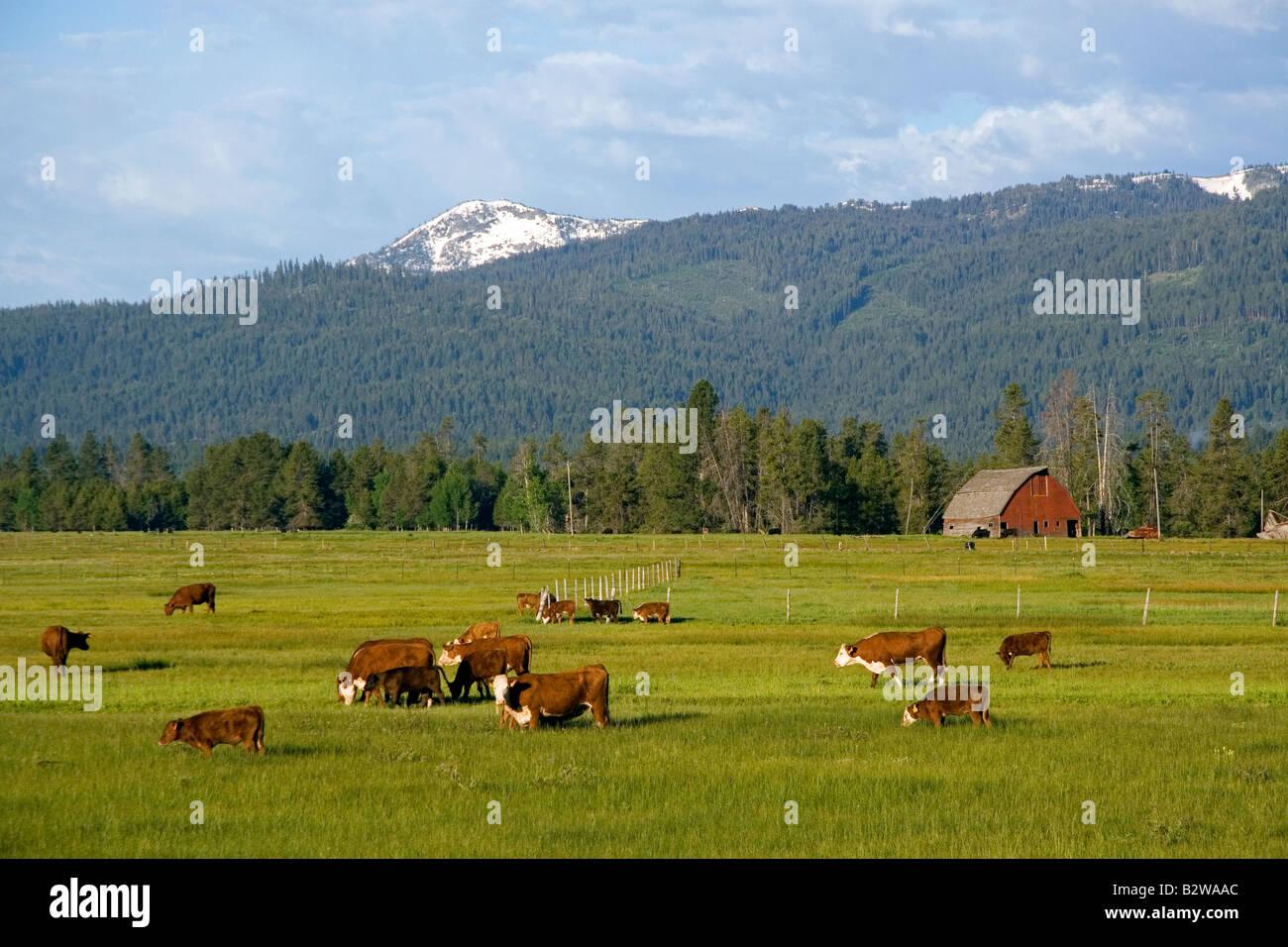Cattle graze in a pasture near Cascade Idaho - Stock Image