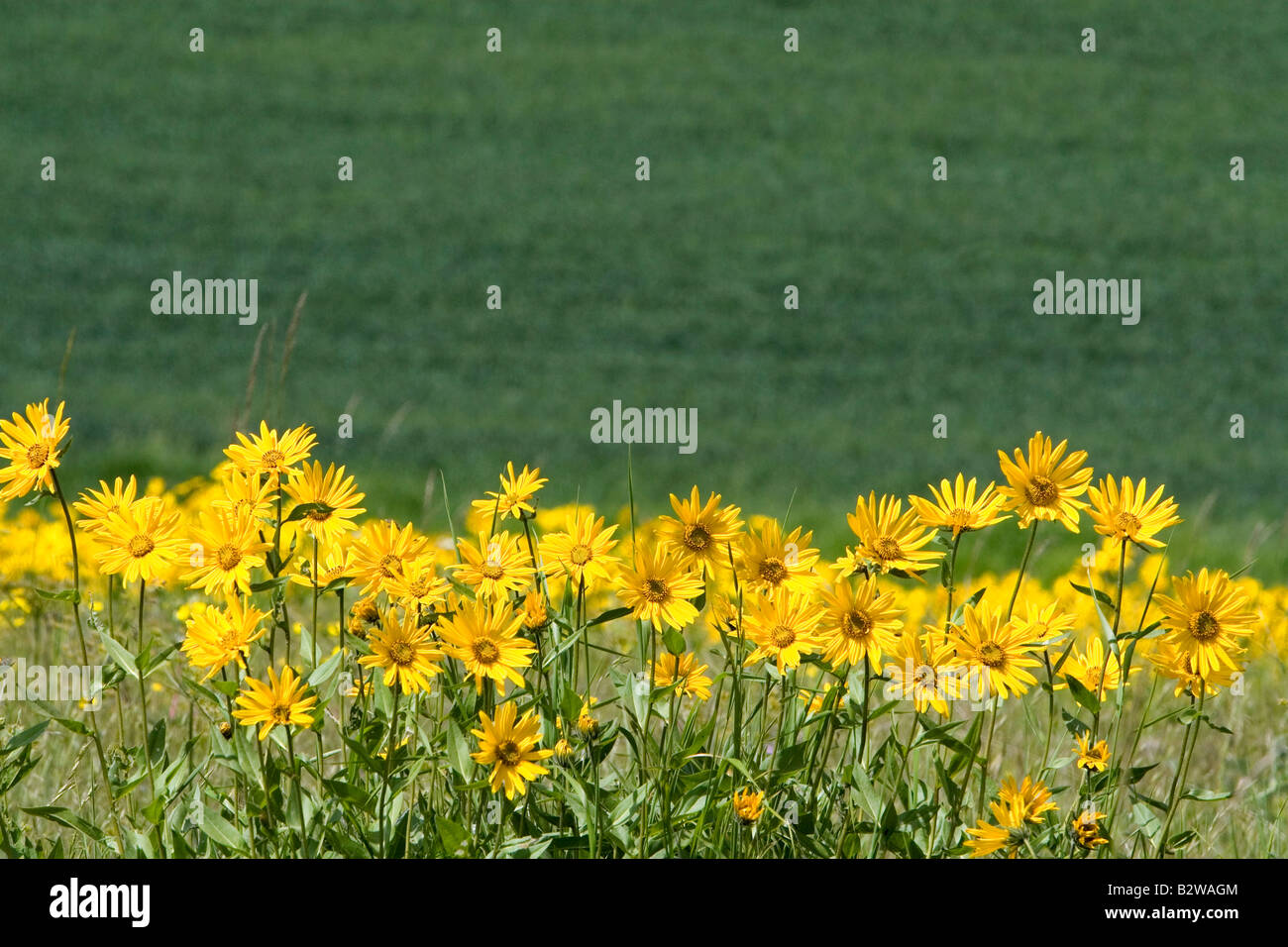 Sunflower Mules Ear wildflower in Grangeville Idaho - Stock Image
