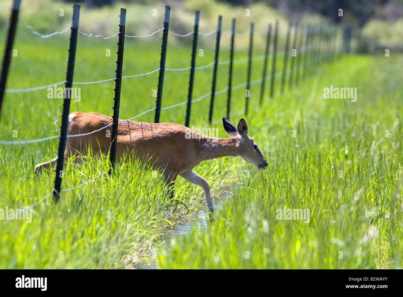 White tail deer doe crossing under a wire fence near Seeley Lake Montana - Stock Image