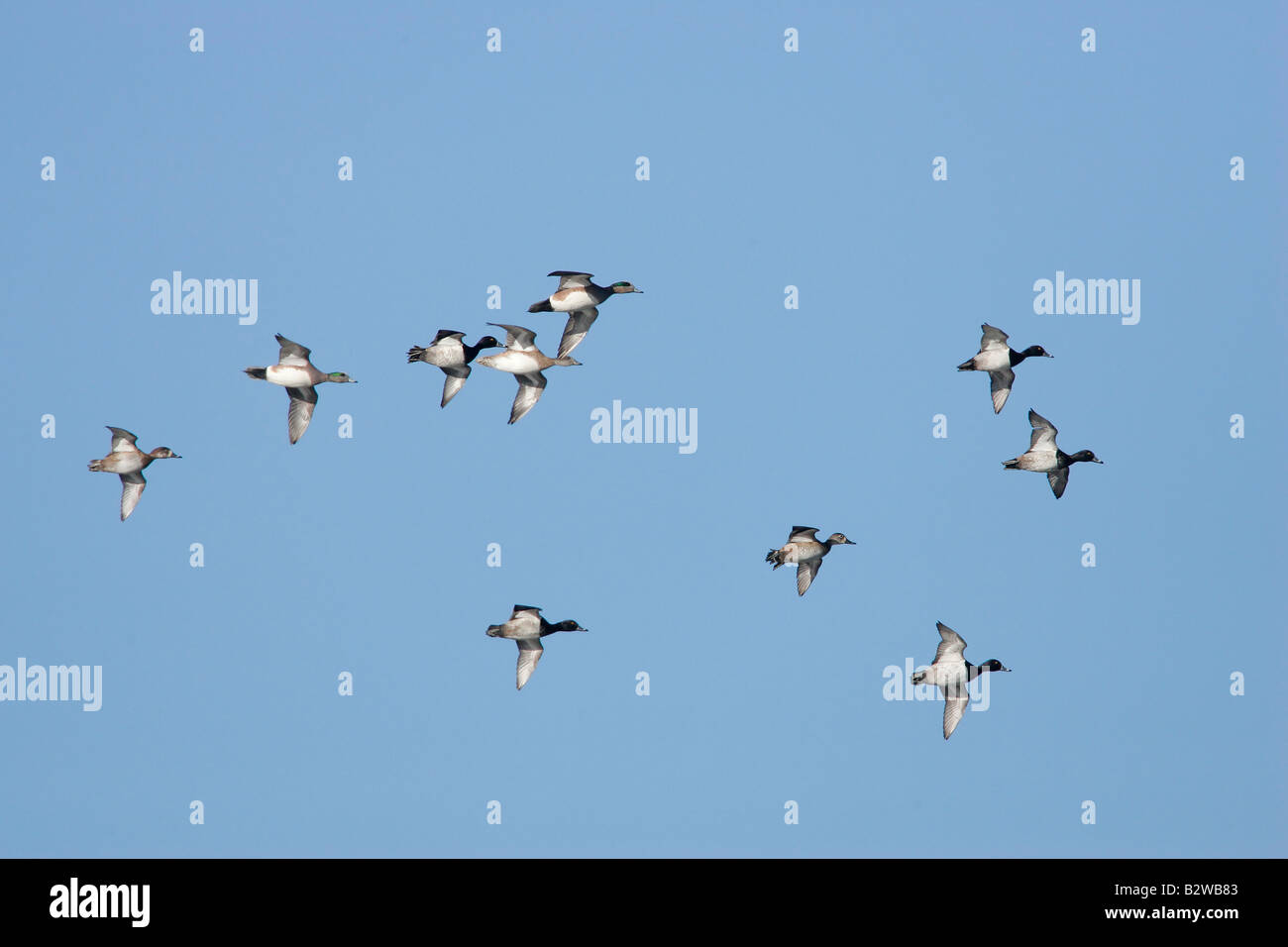 Flock of lesser scaup with some redheads in flight - Stock Image