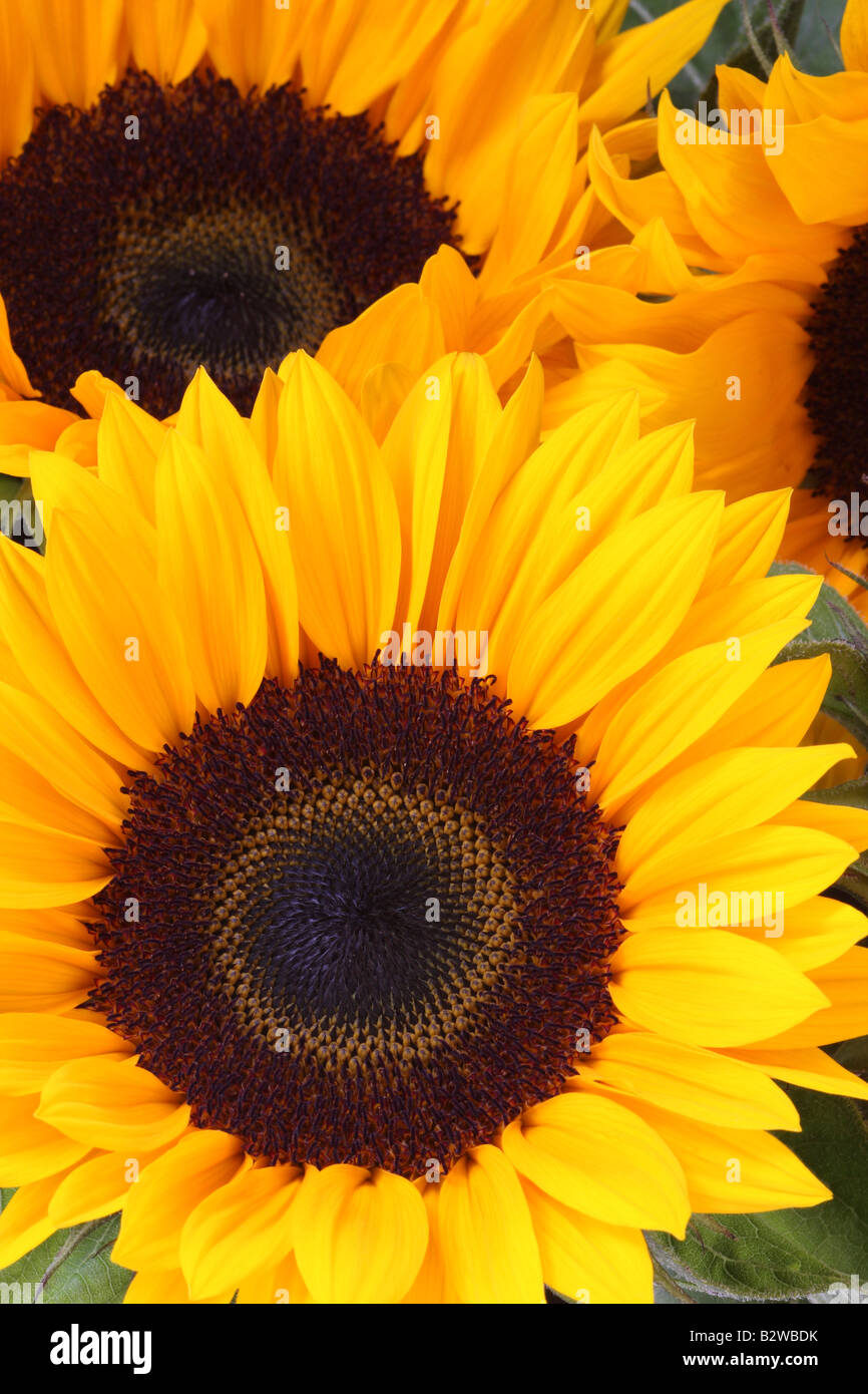 Sunflowers, Helianthus annuus - Stock Image