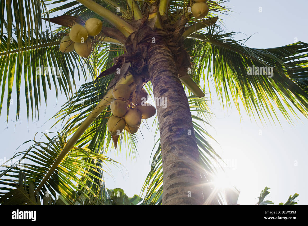 Coconut palm tree - Stock Image