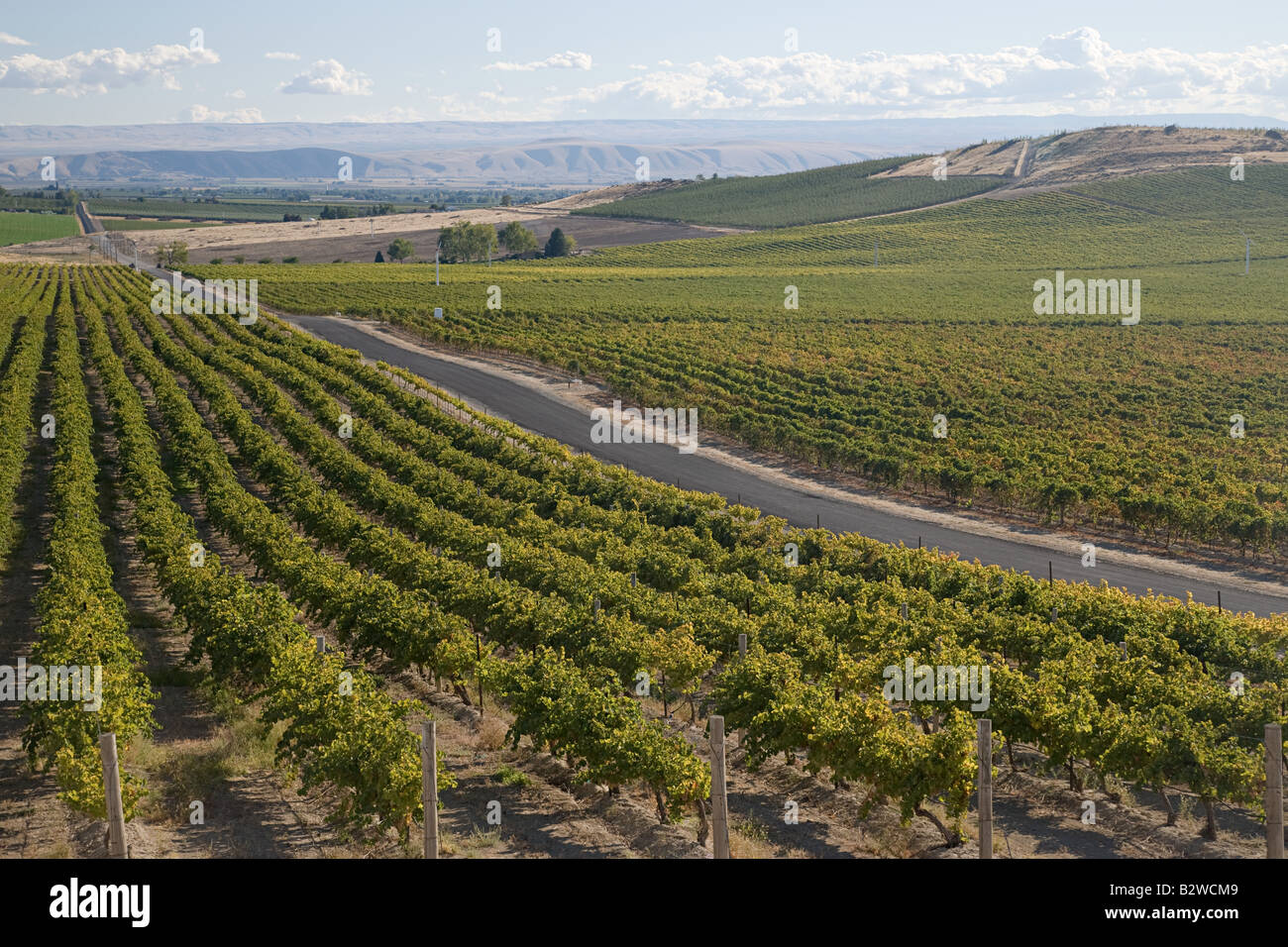 Vine yard - Stock Image