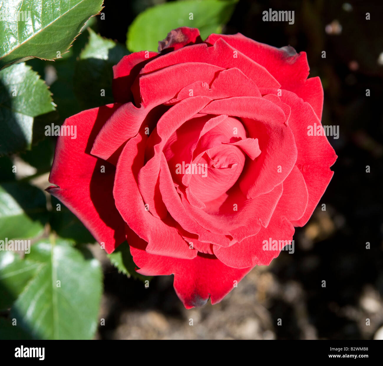 Rosa `Sargent Harwharry` Stock Photo