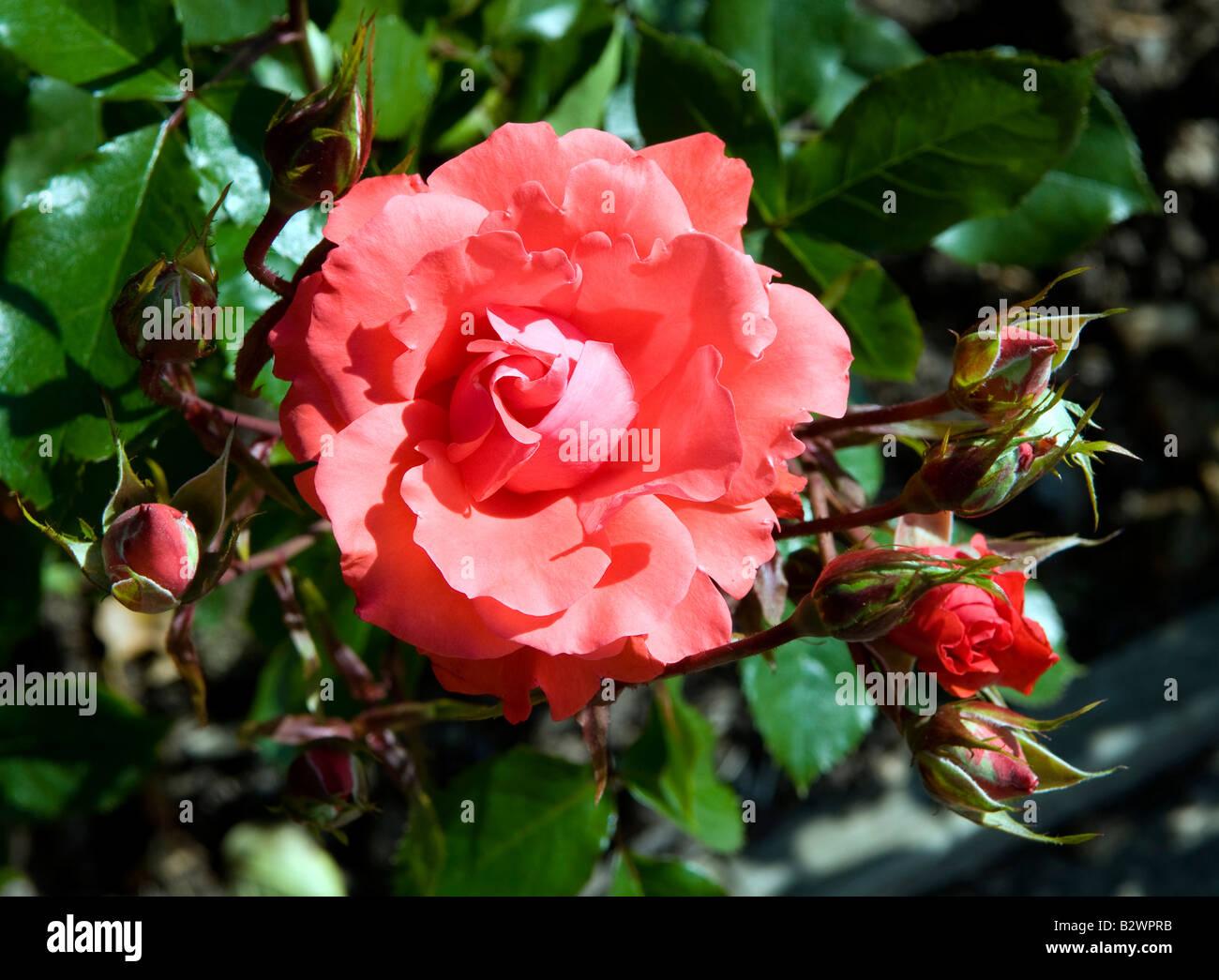 Rosa Memento `Dicbar` - Stock Image