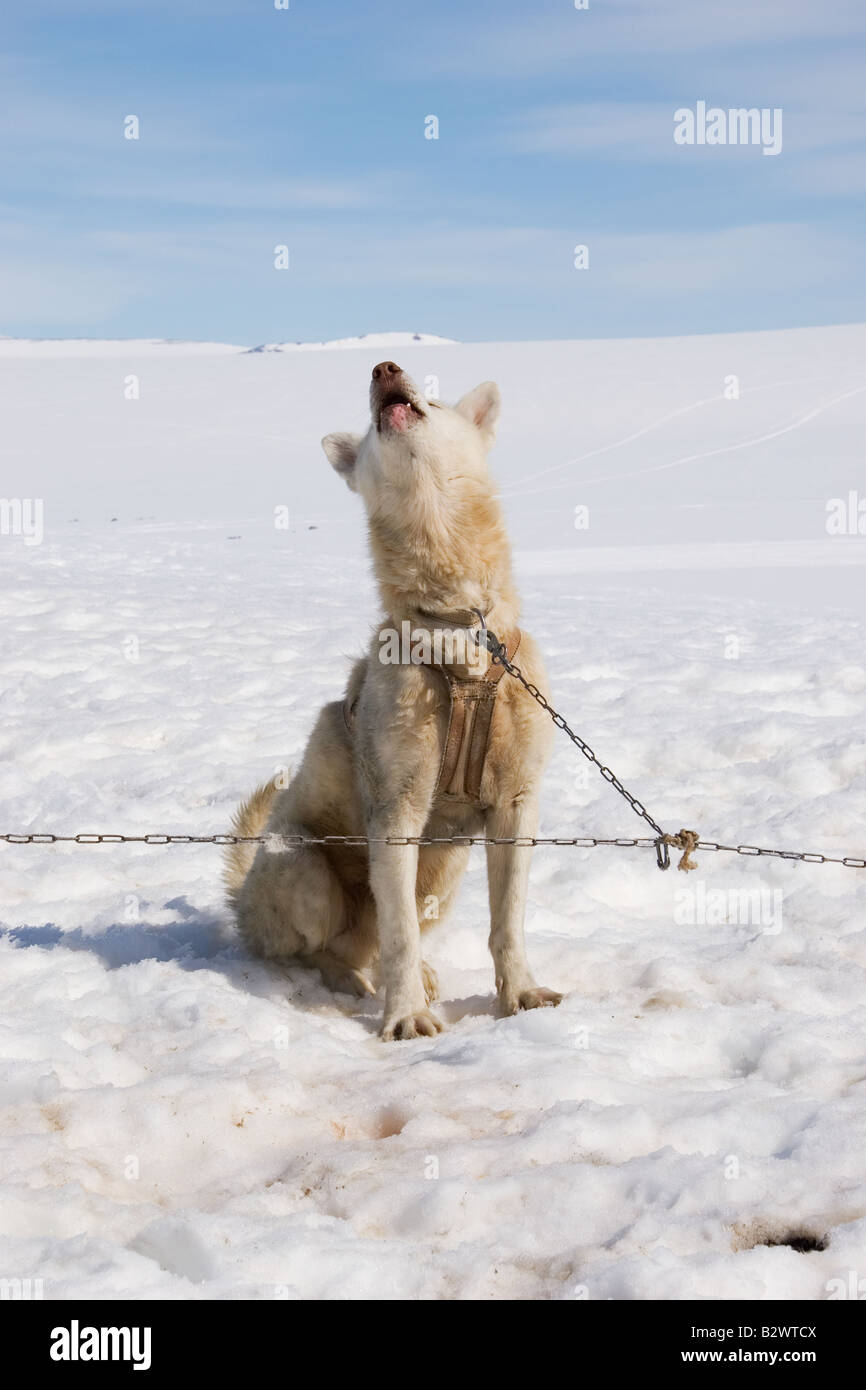 Husky sled dog howls in excitement before going out at Cape Tobin, Scoresbysund fjord near Ittoqqortoormiit, East - Stock Image