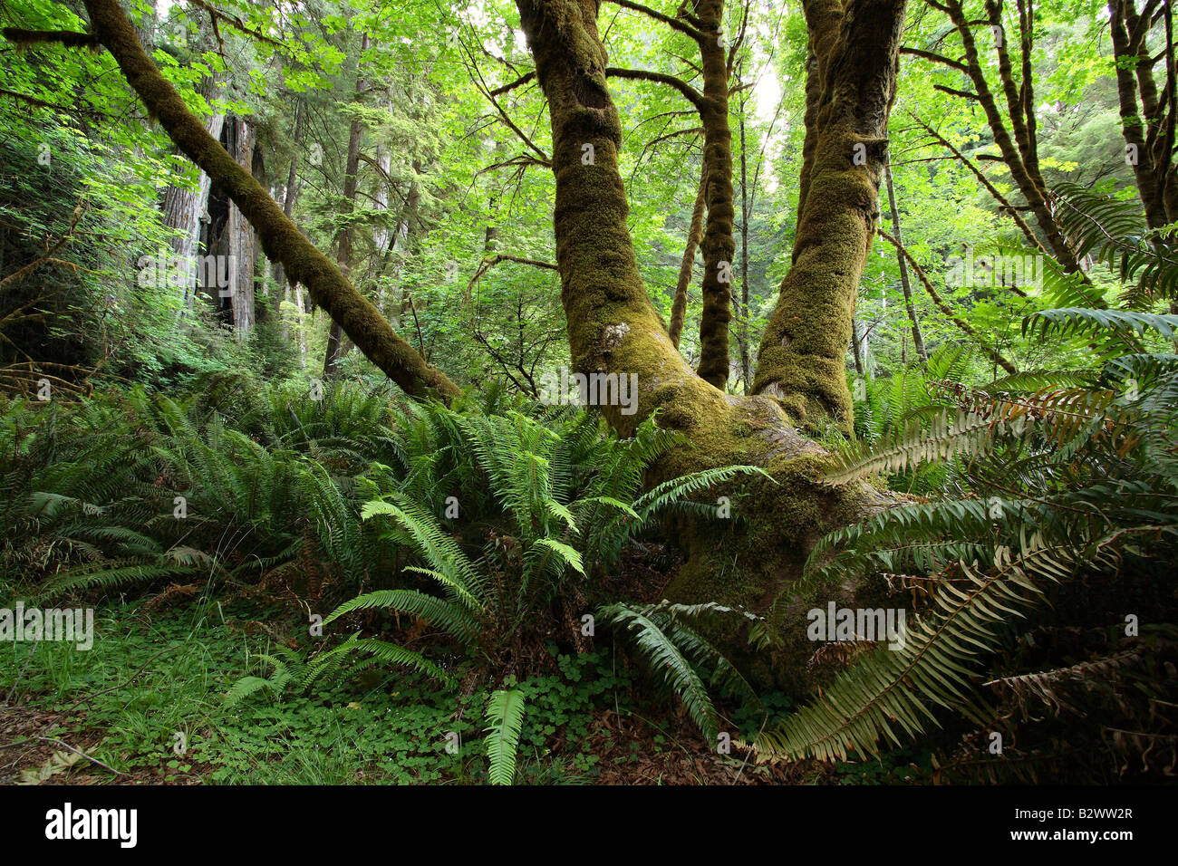 Rainforest Moss-covered trees - Stock Image