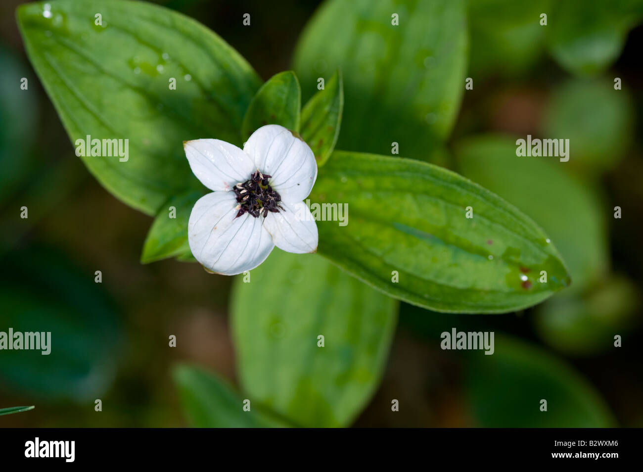Dwarf Cornel Cornus suecica single flower - Stock Image