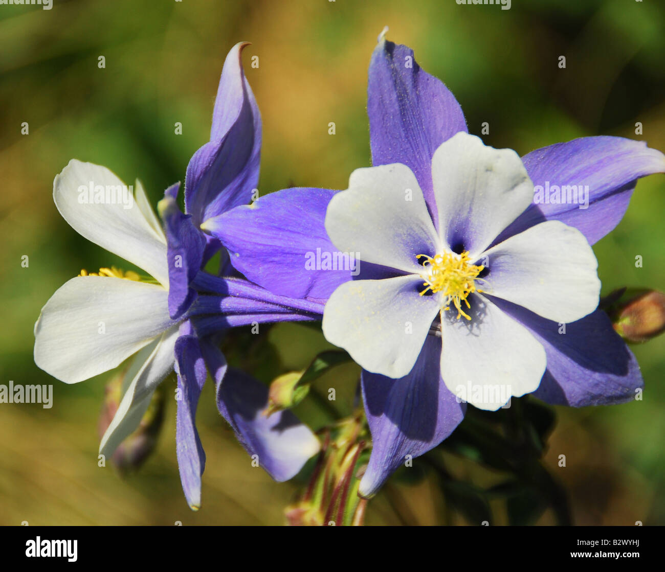 Colorado state flower stock photos colorado state flower stock columbine flowers stock image izmirmasajfo