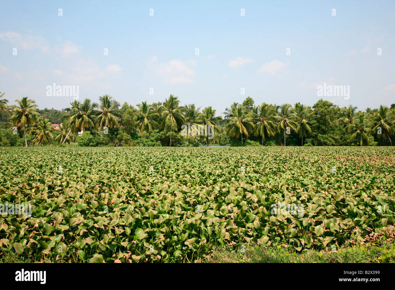 Growth of weeds in Kerala back water - Stock Image