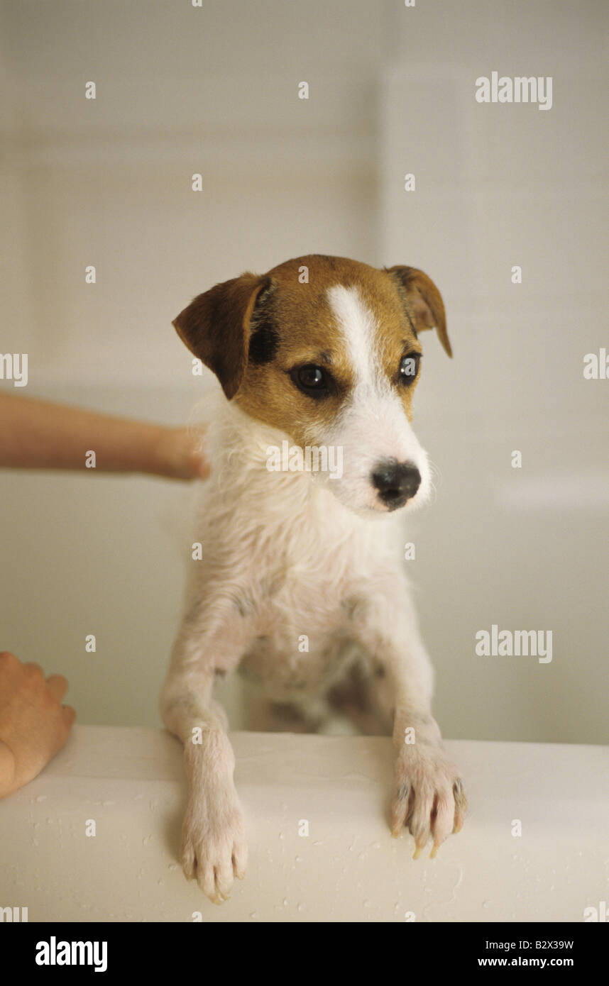 Jack Russell Terrier alertly standing up in bath tub getting a bath Marysville Washington State USA Stock Photo