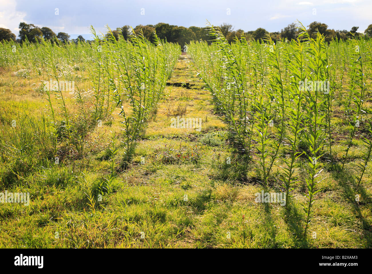 Willow Coppice Plantation field being grown for bio fuel near Carlisle, Cumbria, England, United Kingdom. - Stock Image