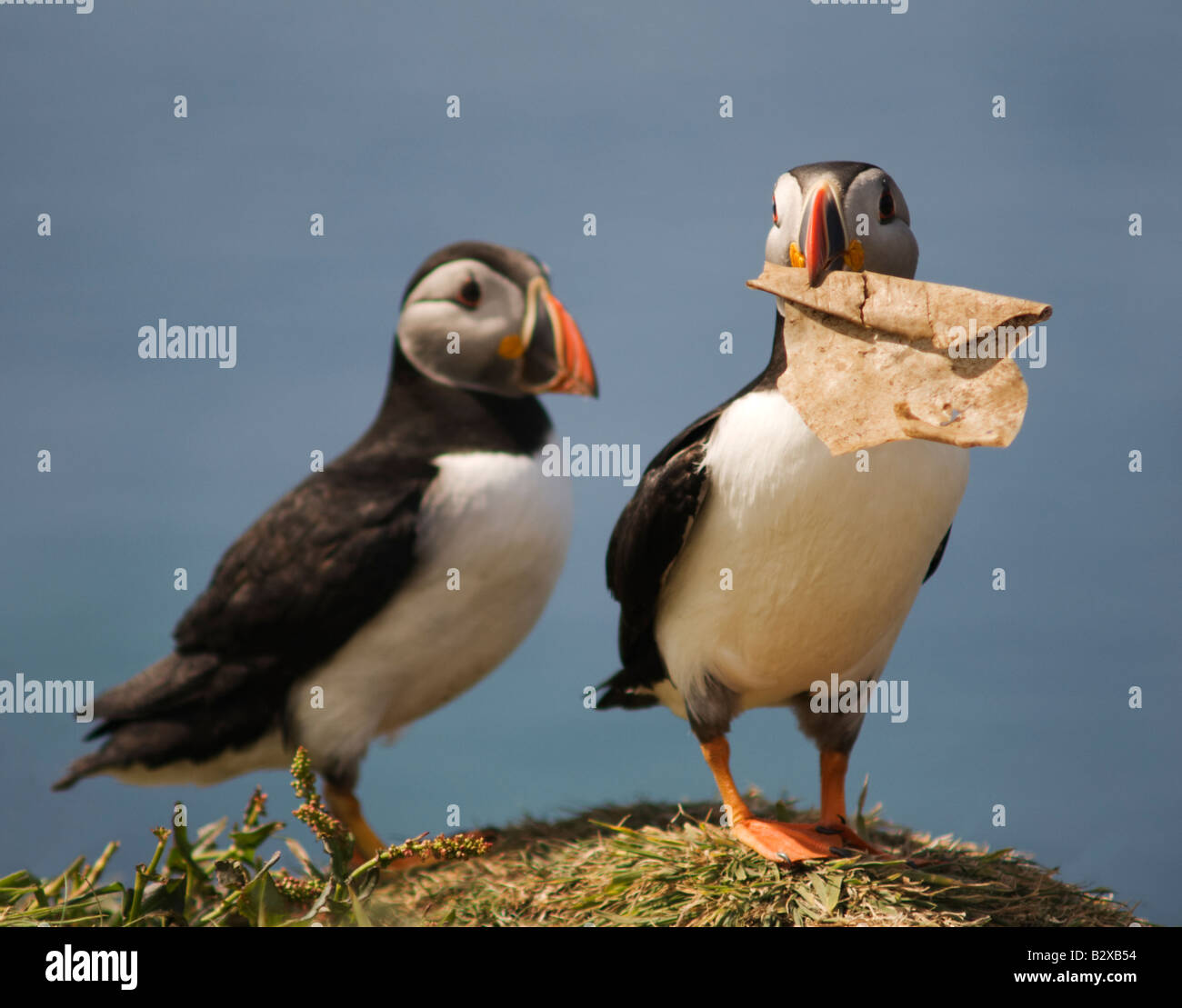two puffins with a piece of rubbish - Stock Image