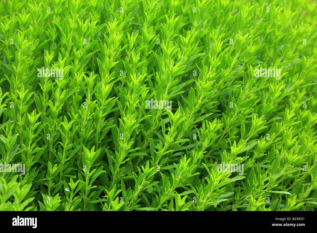 Savory Satureja montana - Stock Image