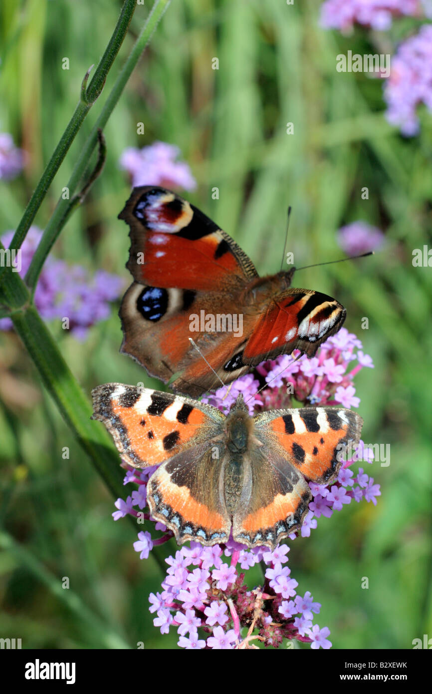 SMALL TORTOISESHELL AGLAIS URTICAE ATTRACTED TO SOME EMINENCE FROM THE PEACOCK BUTTERFLY INACHIS IO - Stock Image