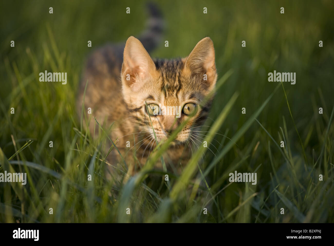 Bengal Kitten Stock Photos & Bengal Kitten Stock Images - Alamy