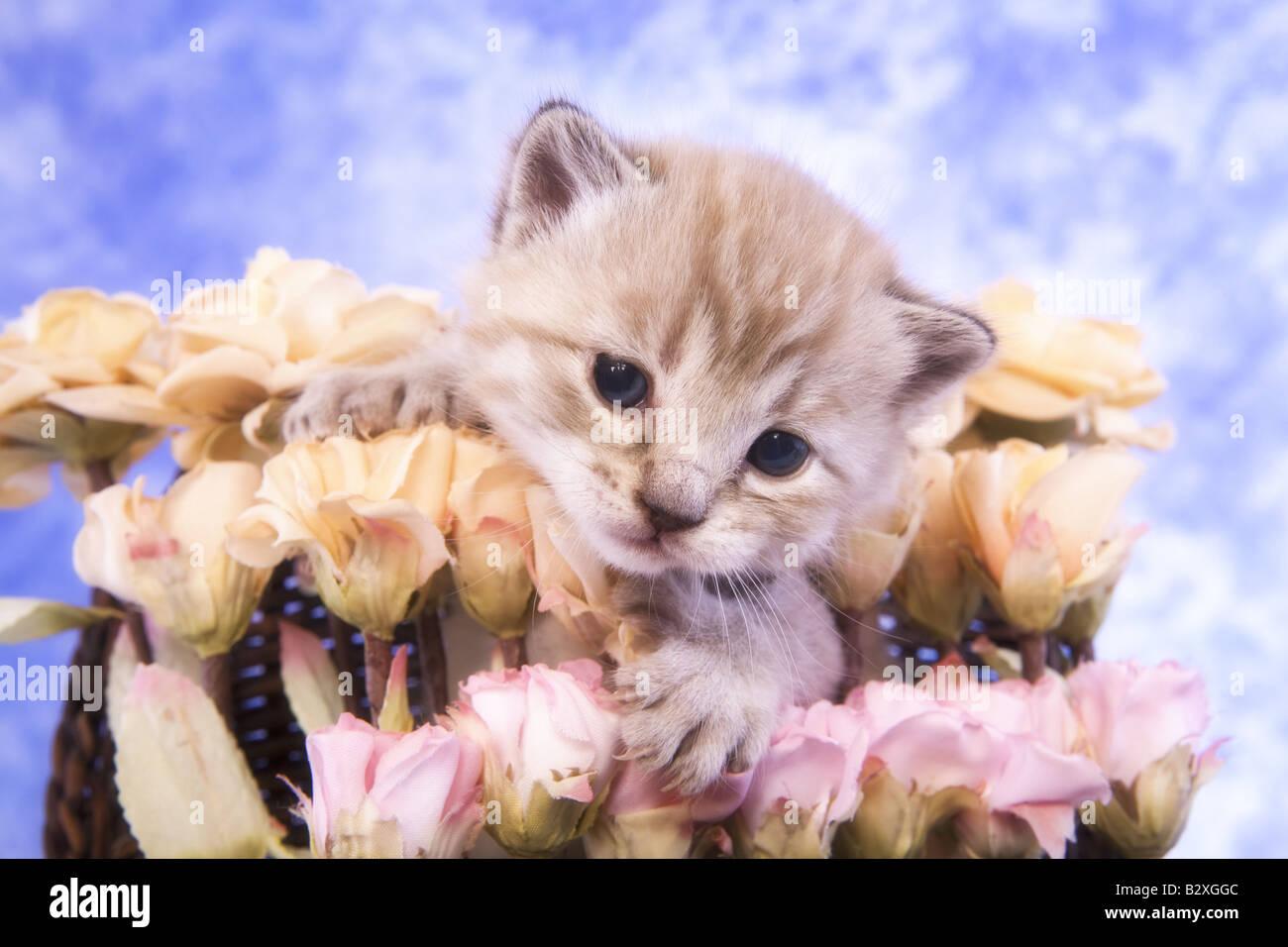 Cute kitten in bouquet of pink flowers on blue background Stock ...