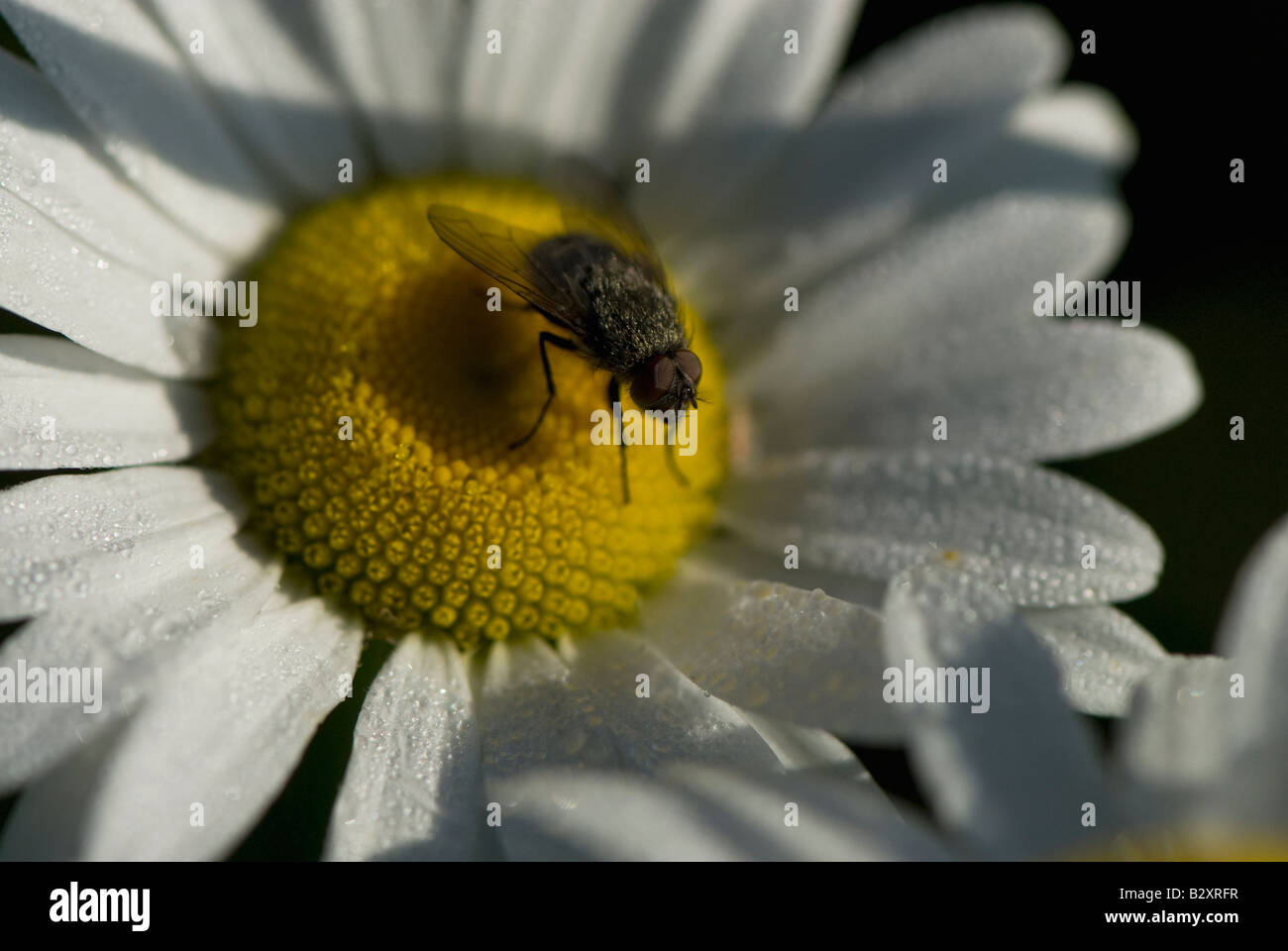 Common Fly resting on wild daisies with morning dewdrops on petals in morning sunlight. - Stock Image