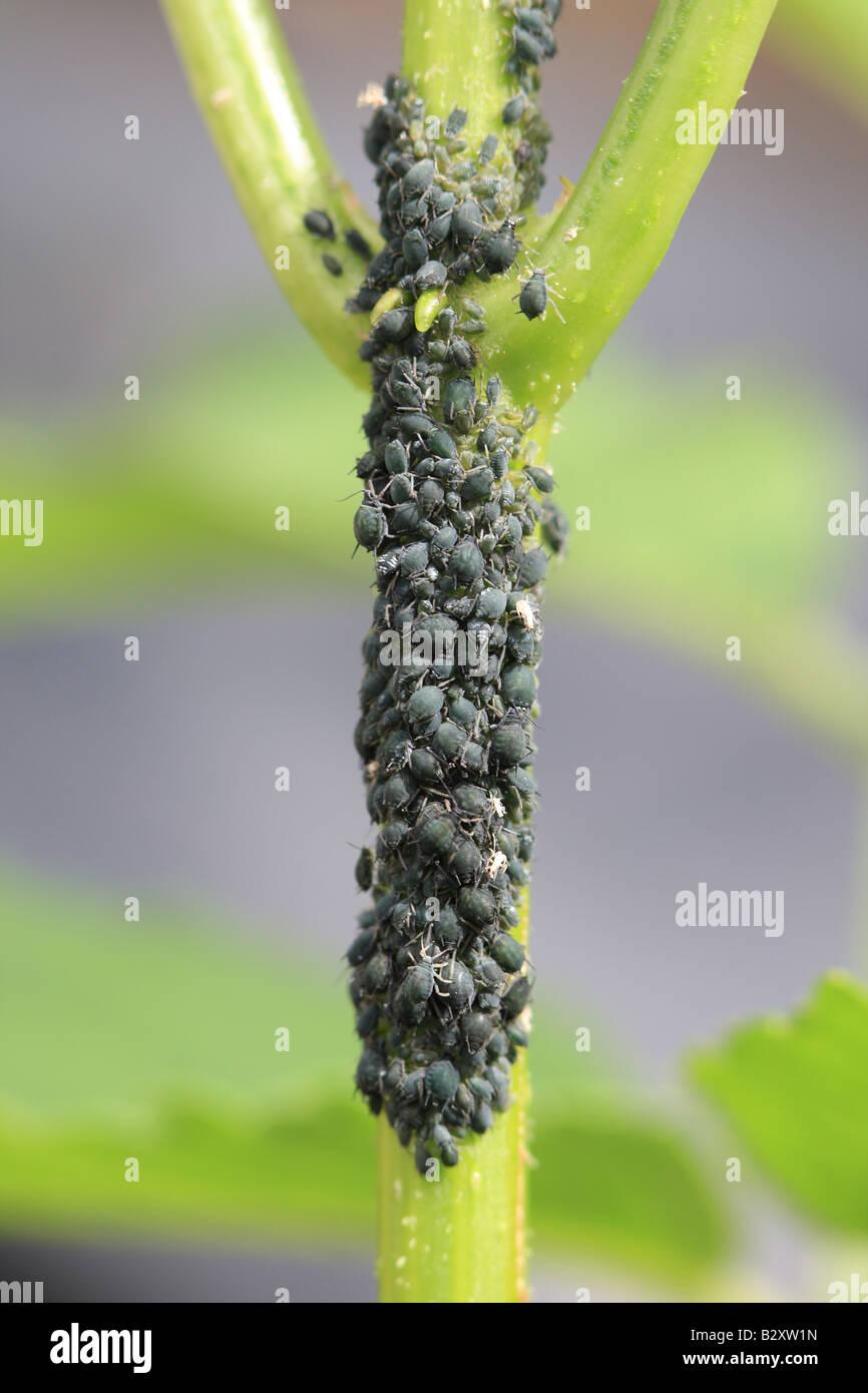 ELDER APHID Aphis sambuci DENSE COLONY ON ELDERBERRY STEM - Stock Image
