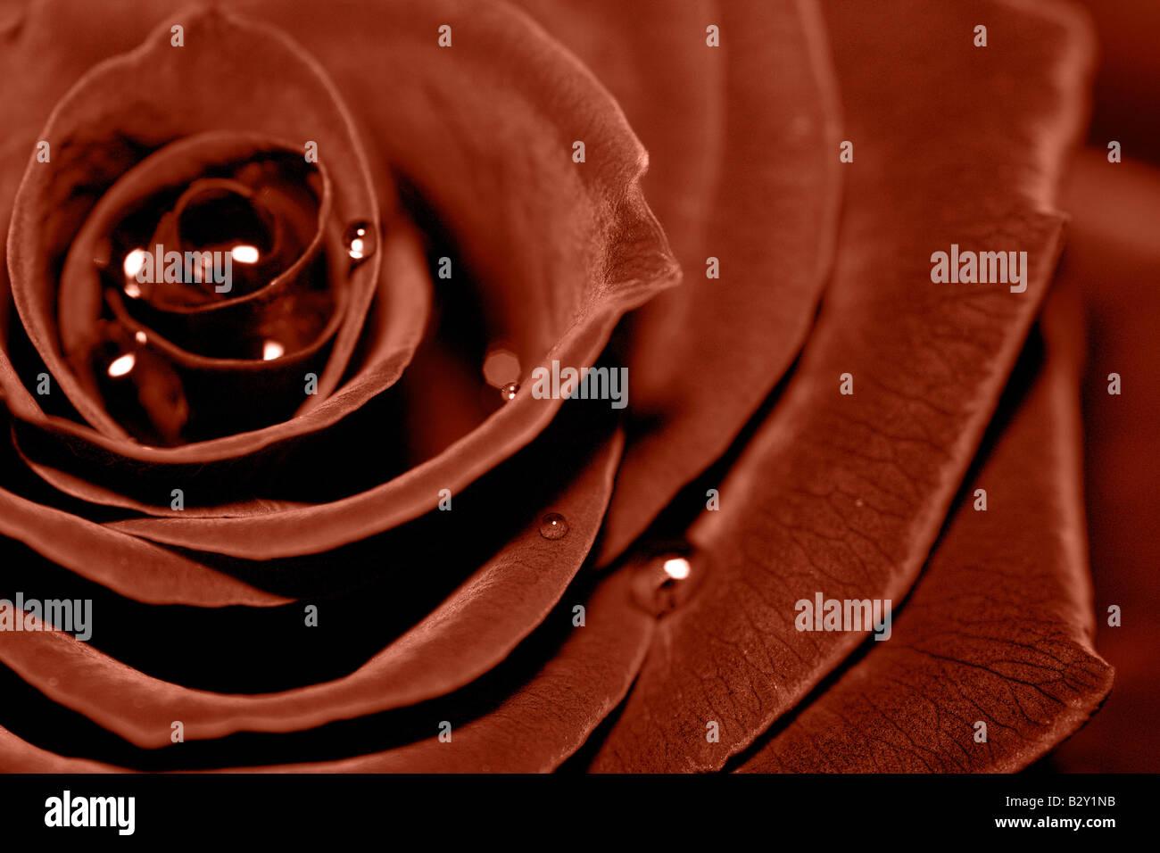 brown rose - Stock Image