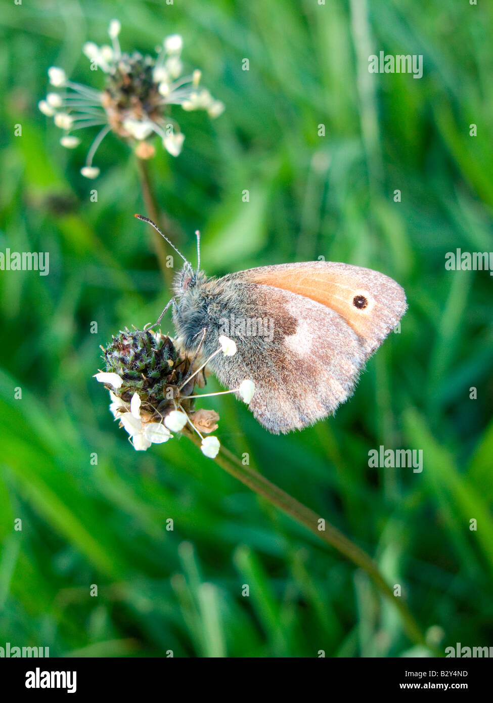 Small Heath butterfly resting on ribwort plantain at Ivinghoe, Buckinghamshire in June. - Stock Image