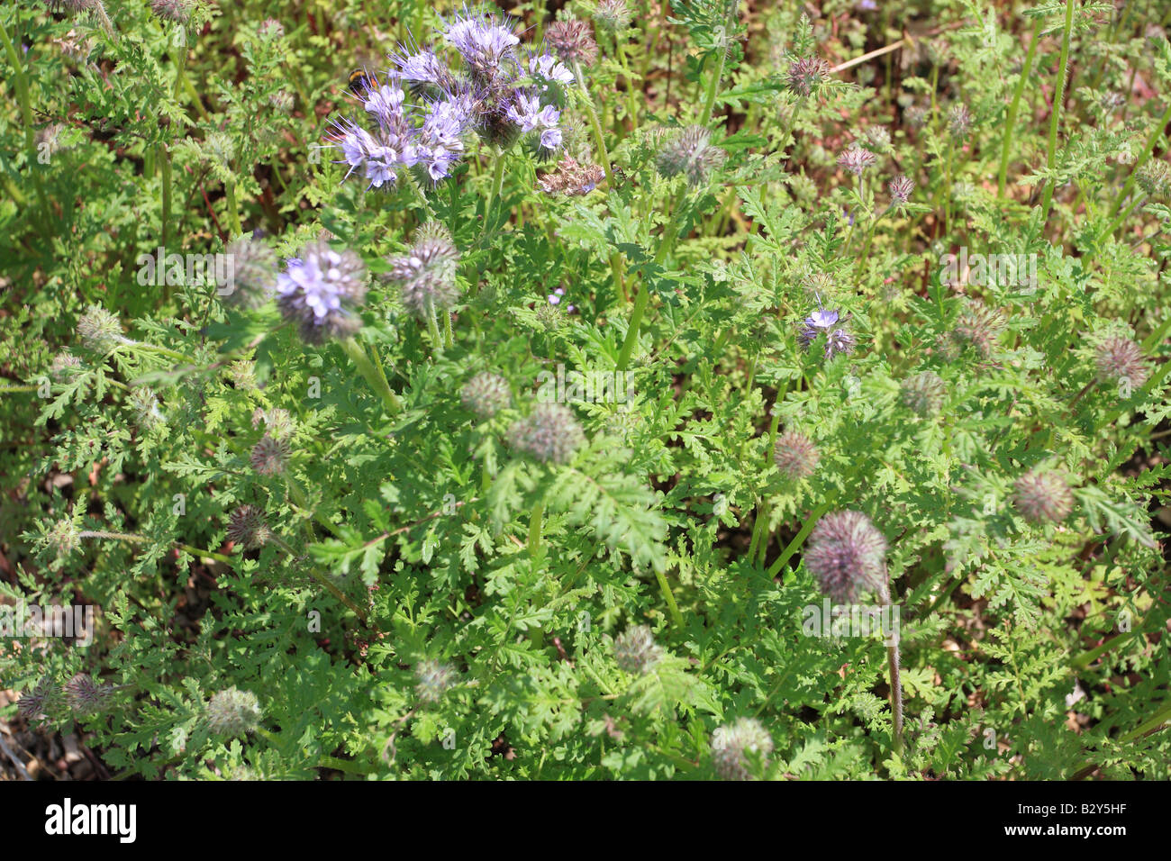 PHACELIA Phacelia tanicefolia PLANTS GROWING IN BED FOR GREEN MANURE Stock Photo