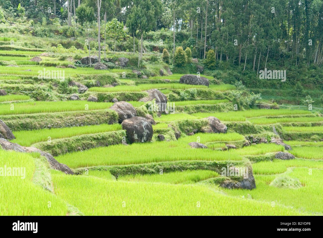Terraced paddy fields in the neighbourhood of Batutumonga (Sulawesi). Rizières en terrasse aux environs de - Stock Image