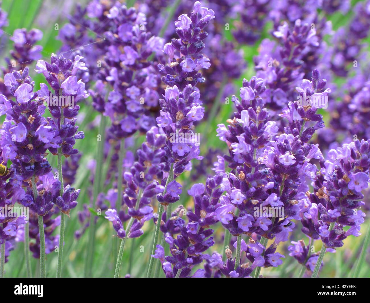 Lavender flowers blooming Lavandula angustifolia - Stock Image