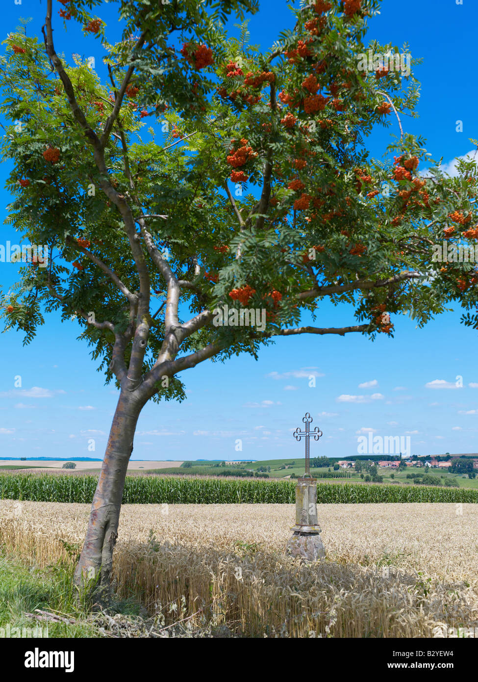 ROWAN TREE WITH BERRIES AND WROUGHT IRON CROSS IN WHEAT FIELD ALSACE FRANCE - Stock Image