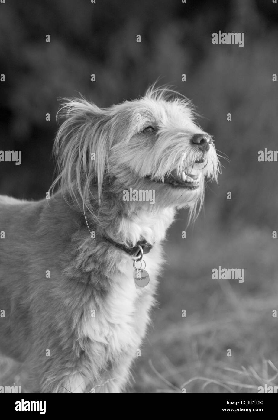 Great Fluffy Canine Adorable Dog - cute-dog-in-black-and-white-B2YEXC  Best Photo Reference_916690  .jpg
