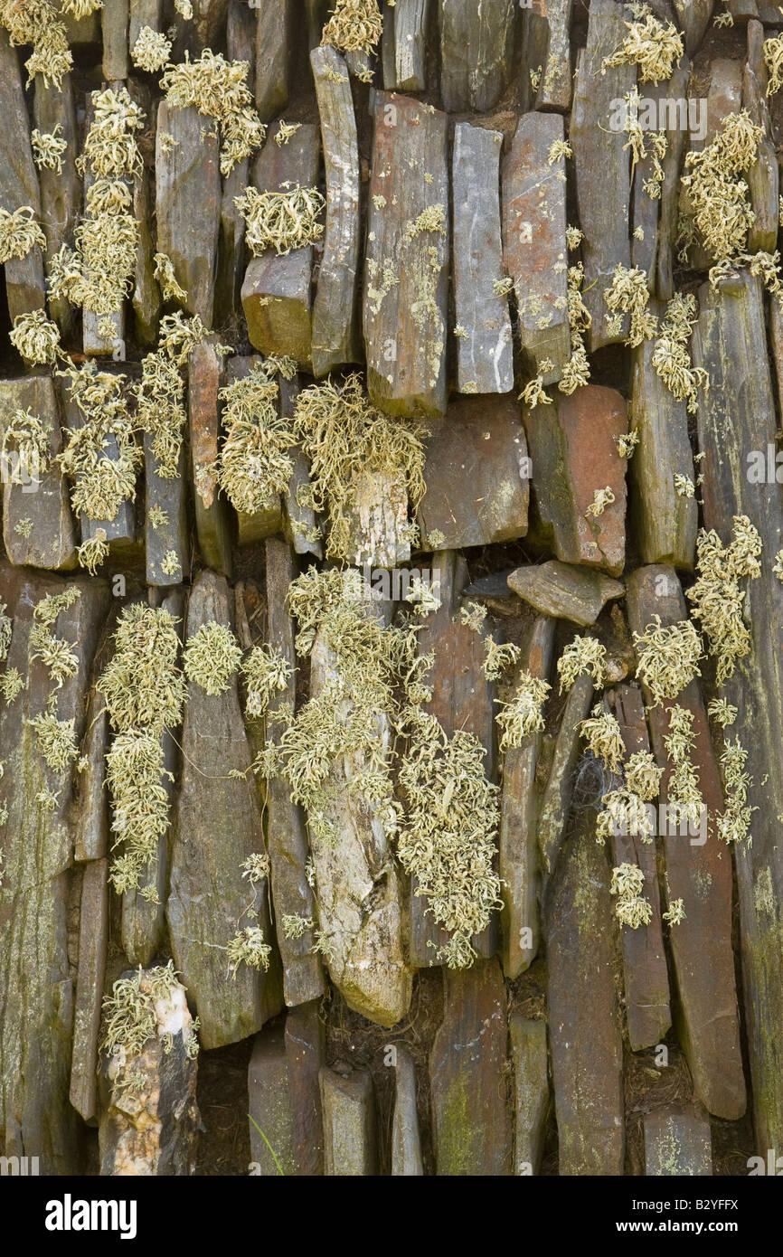 Cornish slate wall with Sea Ivory lichen - Stock Image