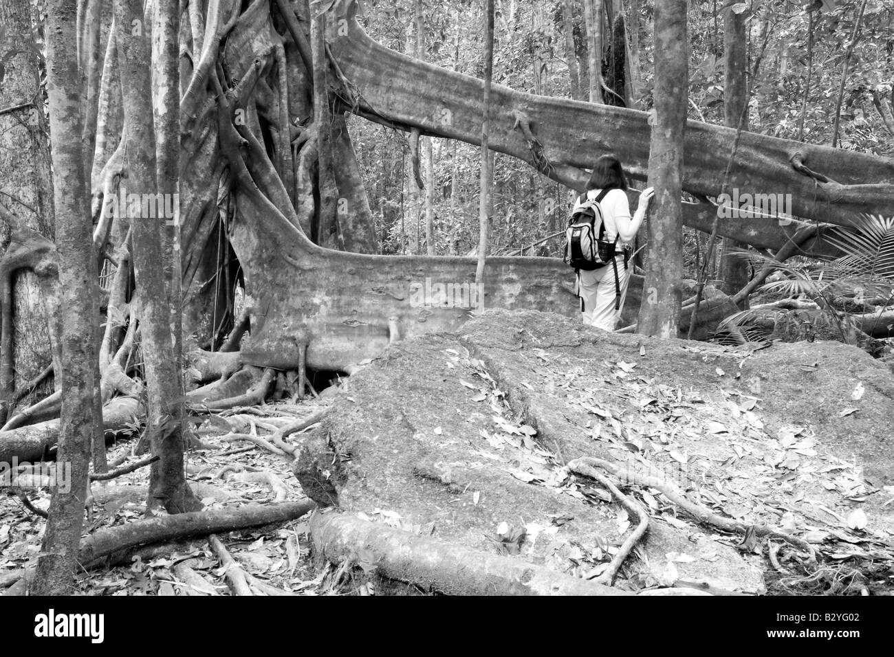 Natural Flying Buttress, Daintree National Park, Queensland, Australia Stock Photo