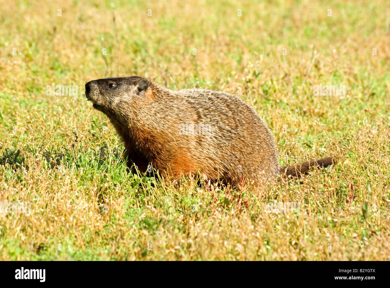 Woodchuck Groundhog Eastern Marmot Marmota monax - Stock Image
