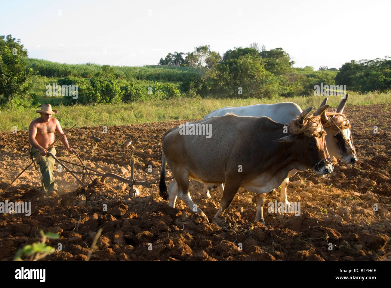 Cuban tobacco farmer ploughing field with oxen ready to plant in tobacco producing region of Viñales Cuba - Stock Image
