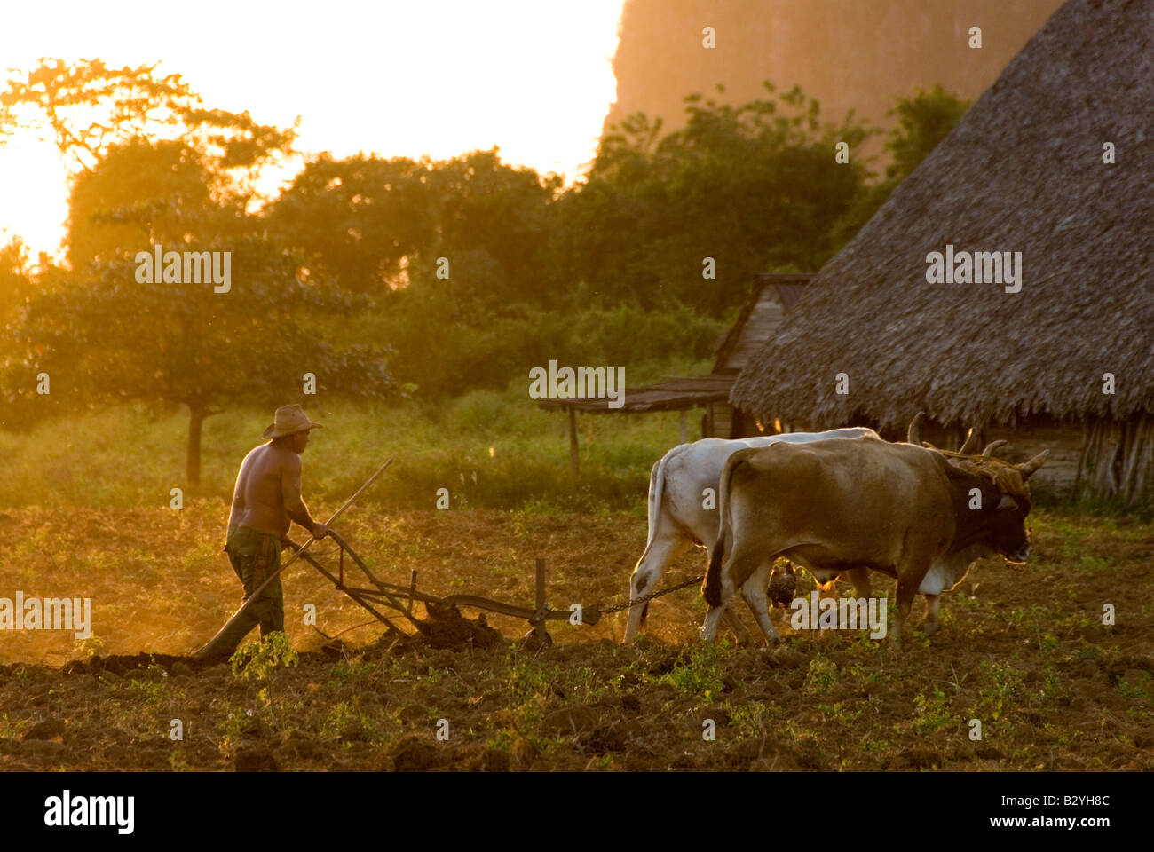 Cuban tobacco farmer ploughing field with oxen ready to plant in tobacco producing region of Viñales Cuba Stock Photo