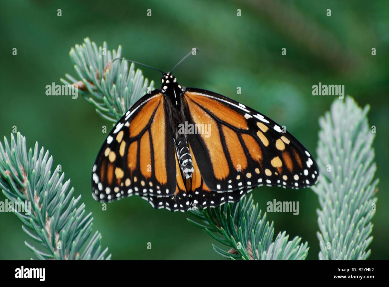 Monarch Butterfly (Danaus plexippus) - Stock Image