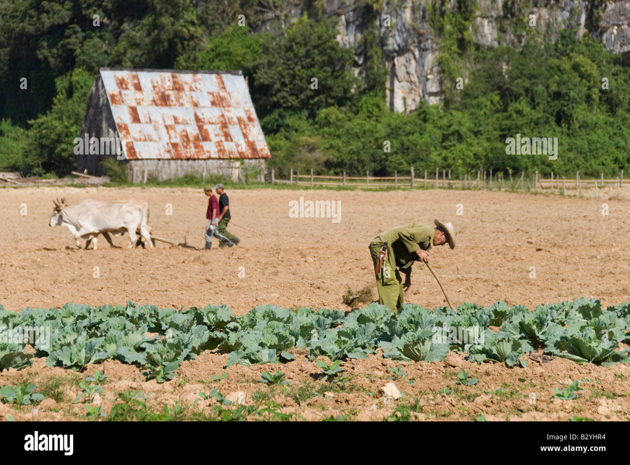 Cuban workers tilling the soil on a communal farm in the countryside of Vinales Cuba - Stock Image