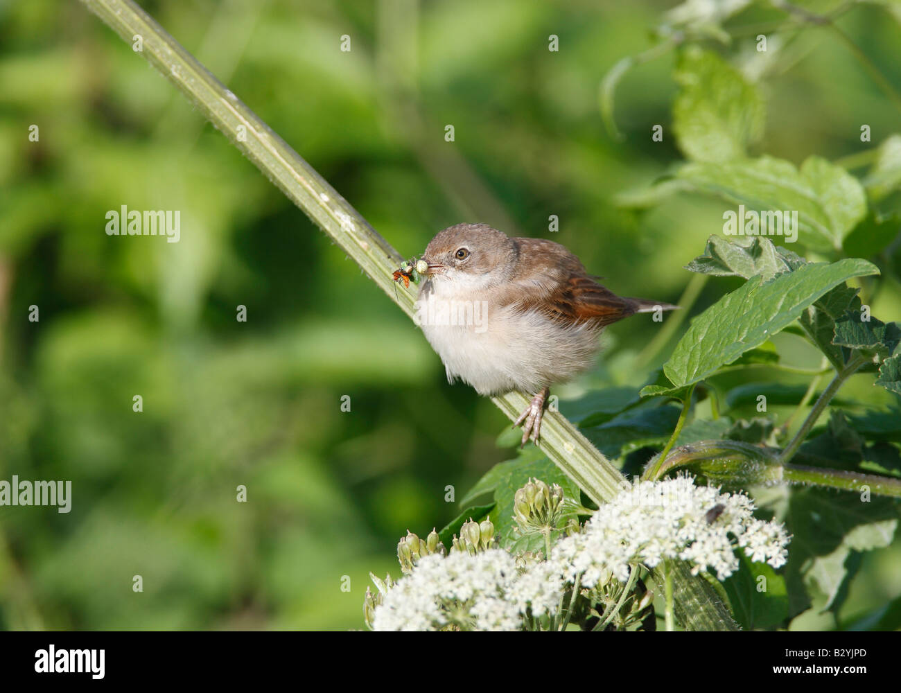 Whitethroat collecting food for nestlings in nearby nest - Stock Image