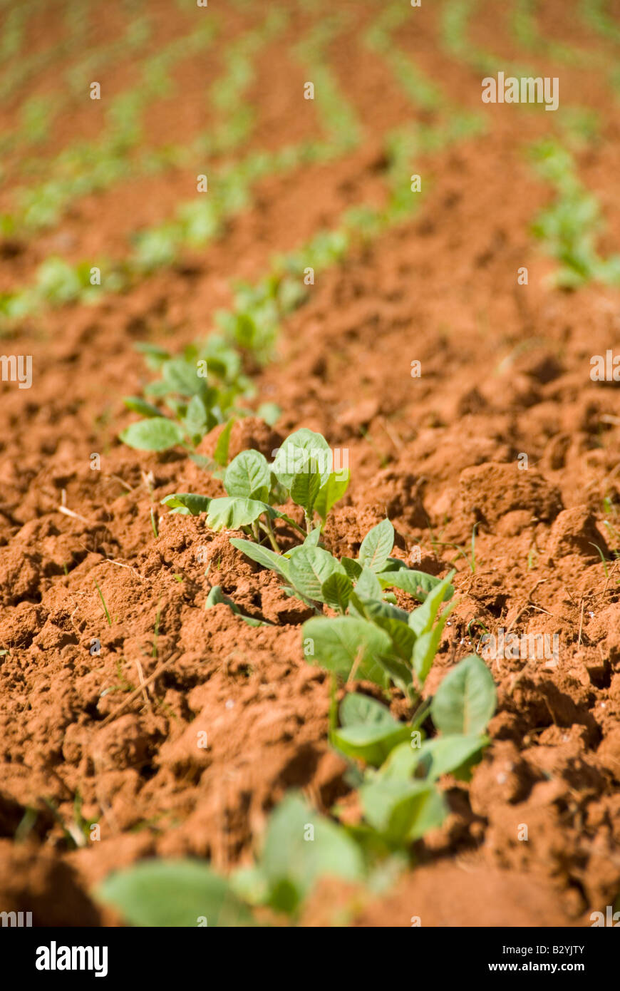 Young seedling tobacco plants growing in Vinales Cuba Stock Photo