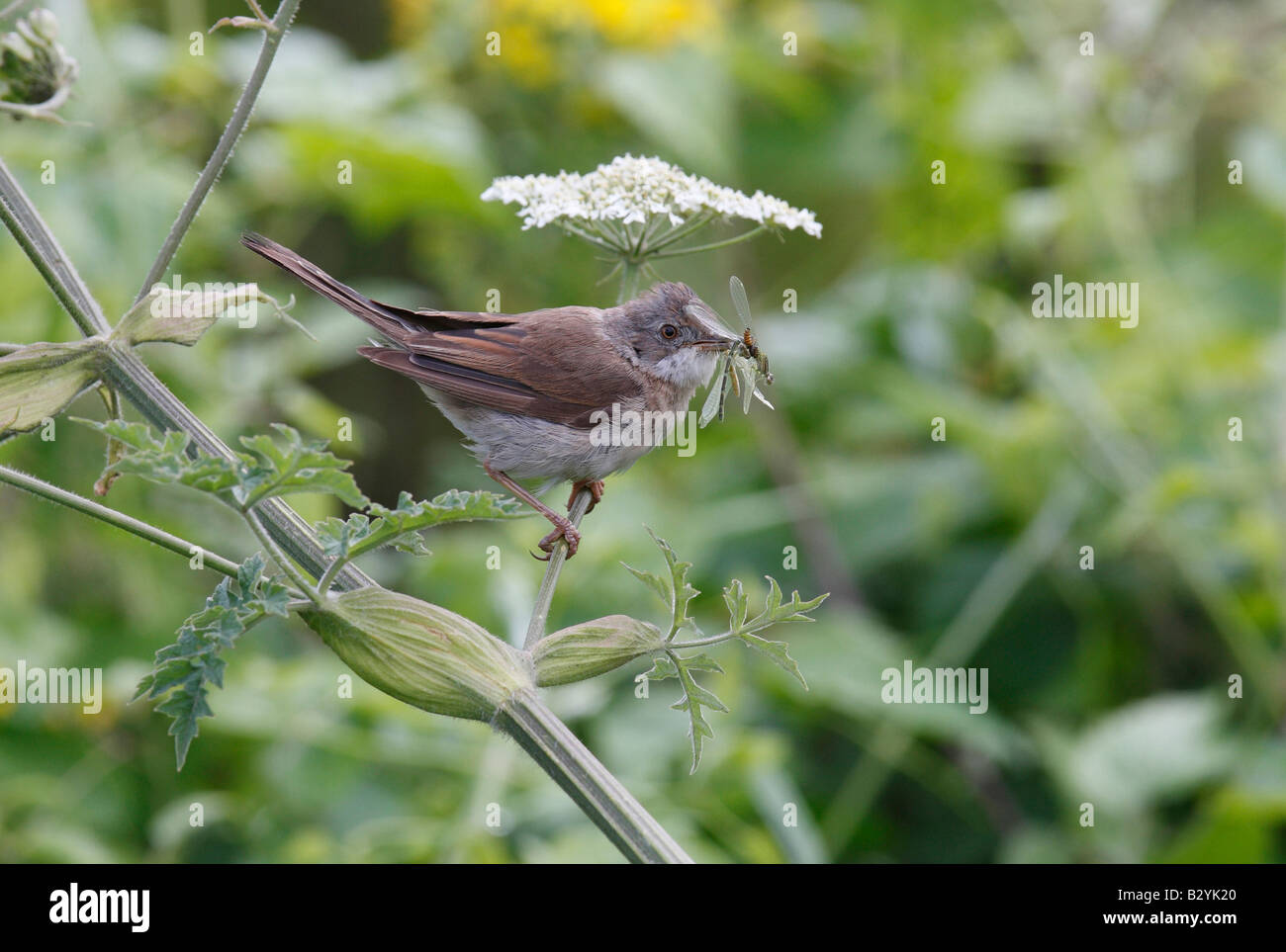 Female Whitethroat collecting food for nestlings in nearby nest - Stock Image