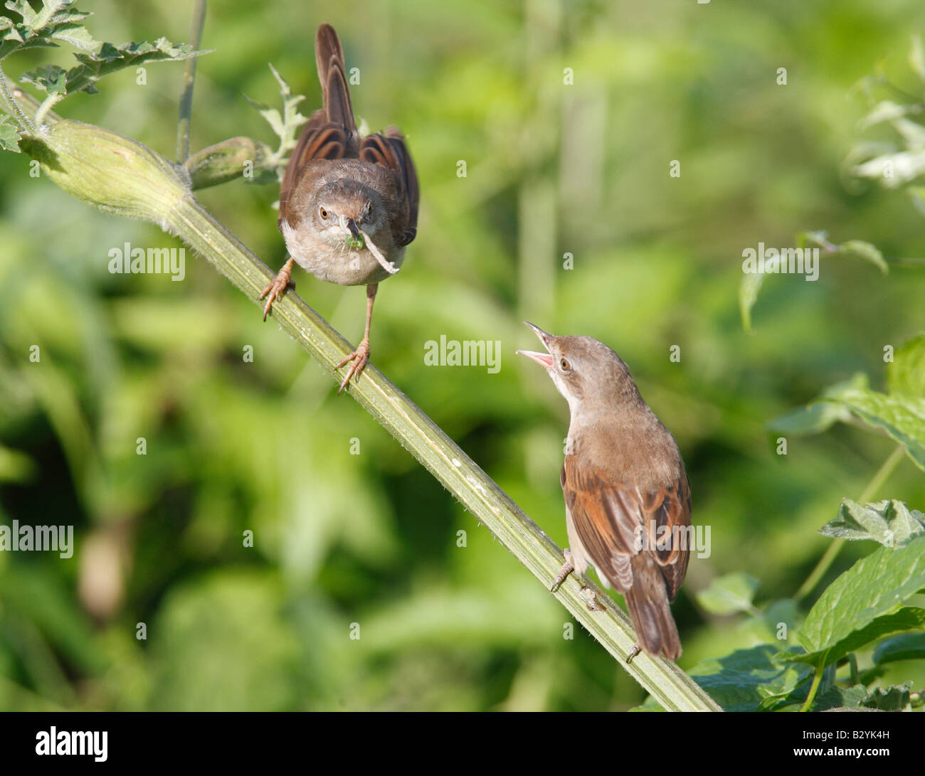 Female whitethroat begging for food from male - Stock Image