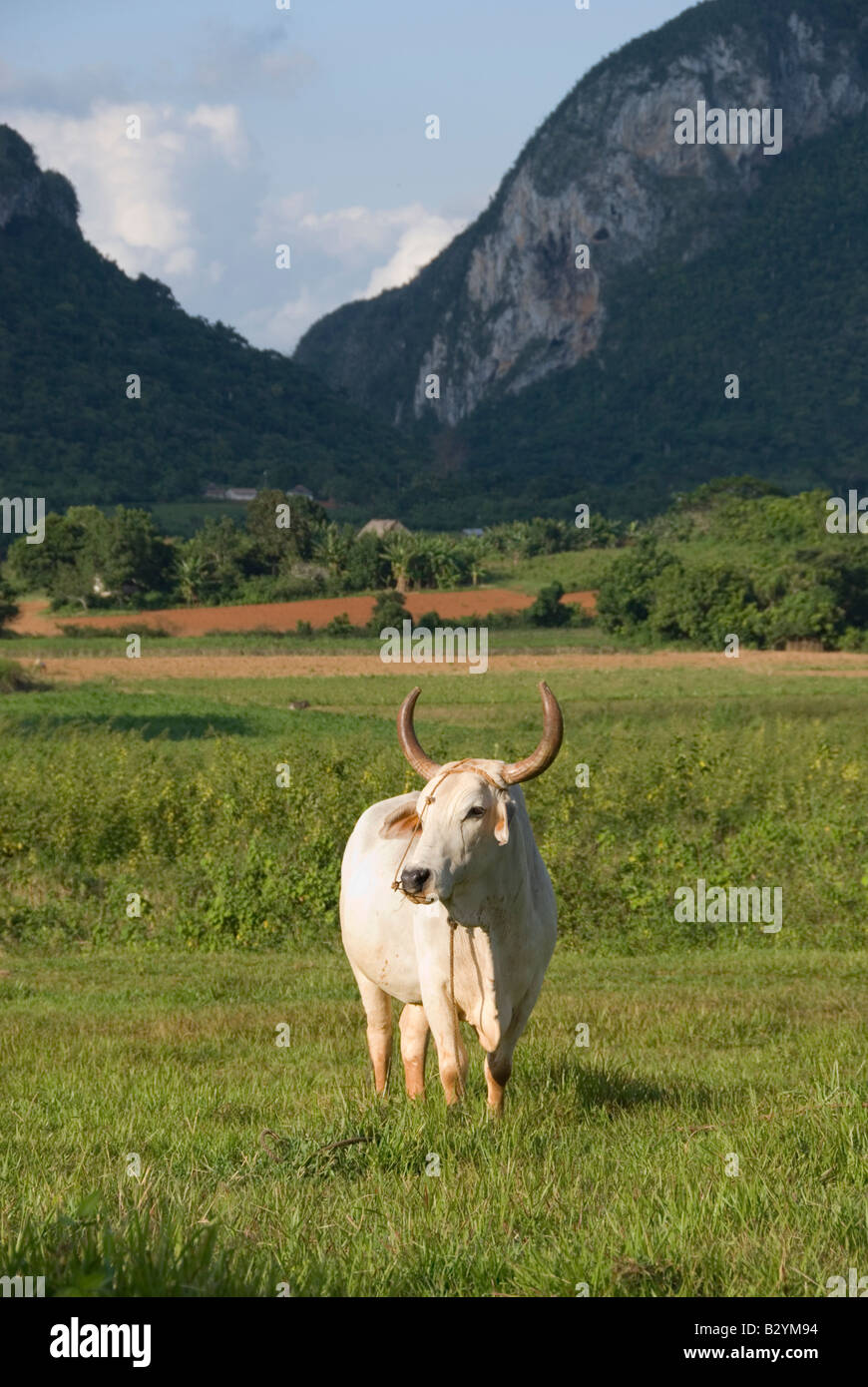 Ox with view towards steep limestone mogote hills of Viñales in Cuba - Stock Image