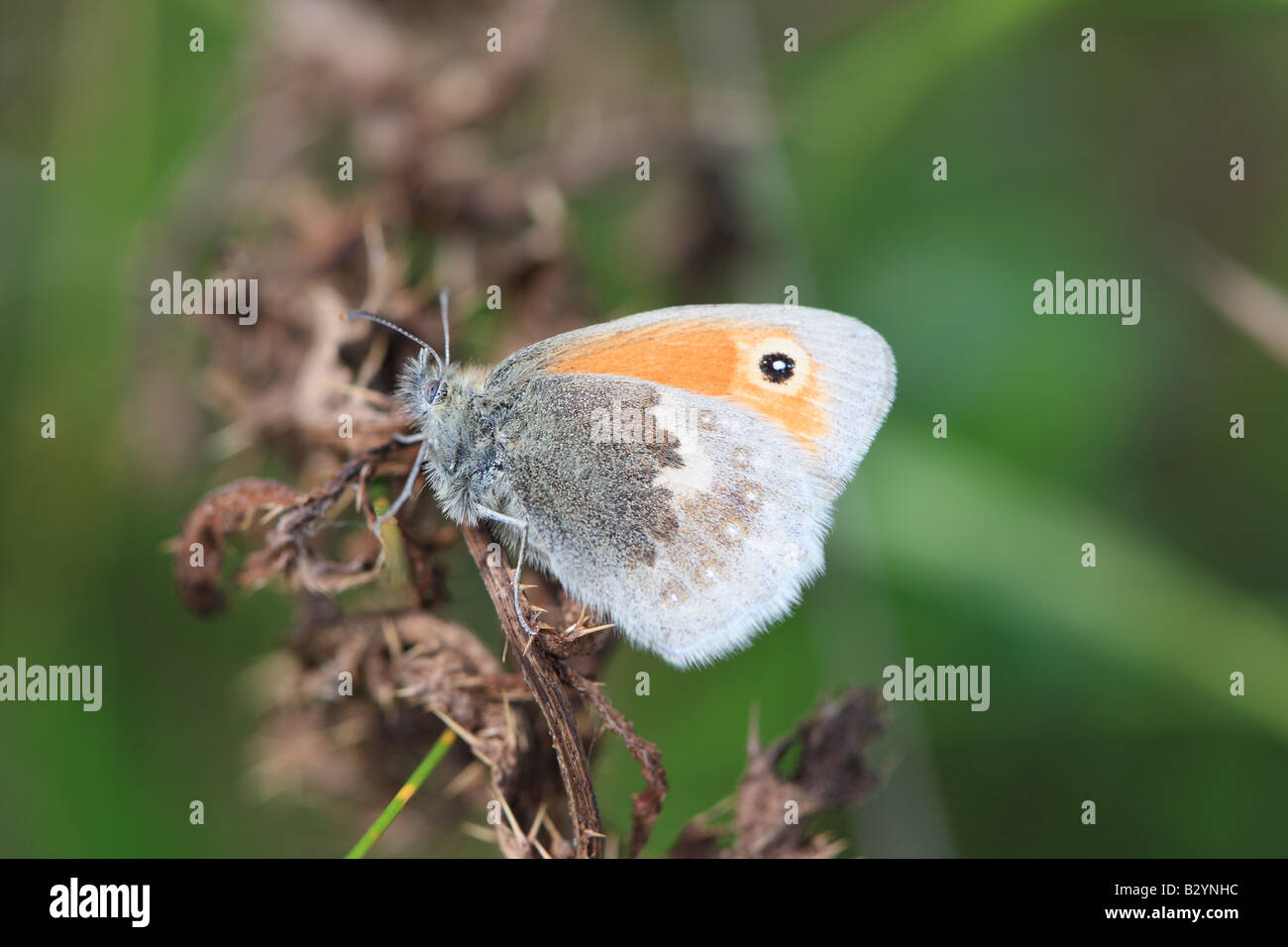 SMALL HEATH Coenonympha pamphilus AT REST WINGS CLOSED - Stock Image