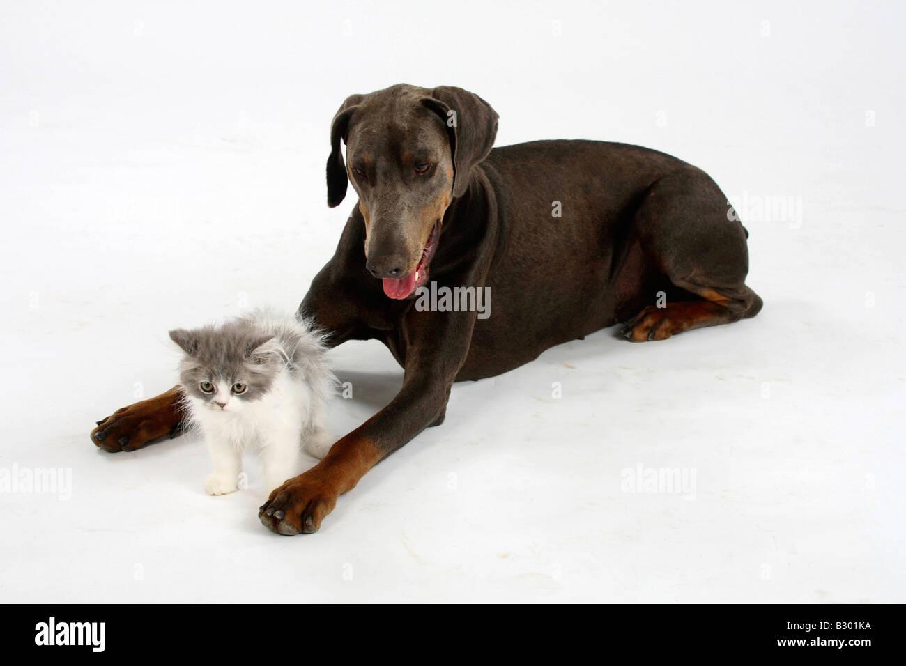 Dobermann Pinscher blue and Persian Cat kitten - Stock Image