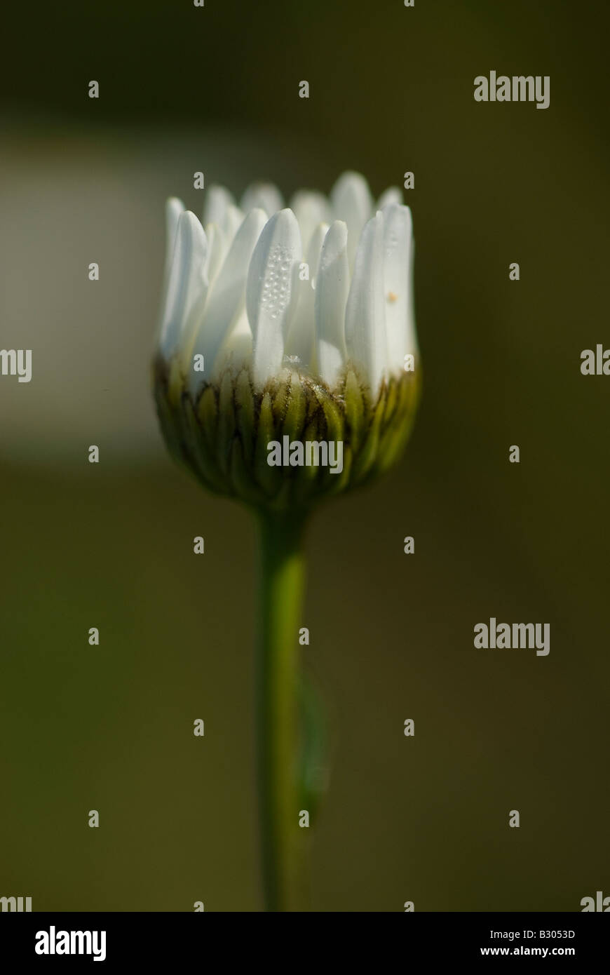 Closed wild daisy with dewdrops on petals. - Stock Image