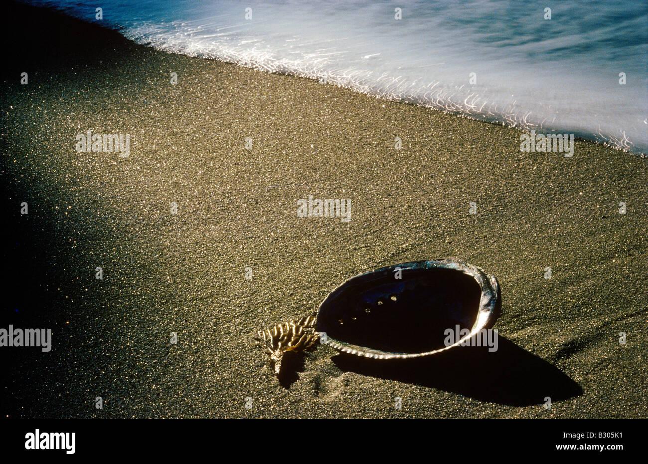 Abalone shell Haliotis iris with passing wave on sandy shore - Stock Image