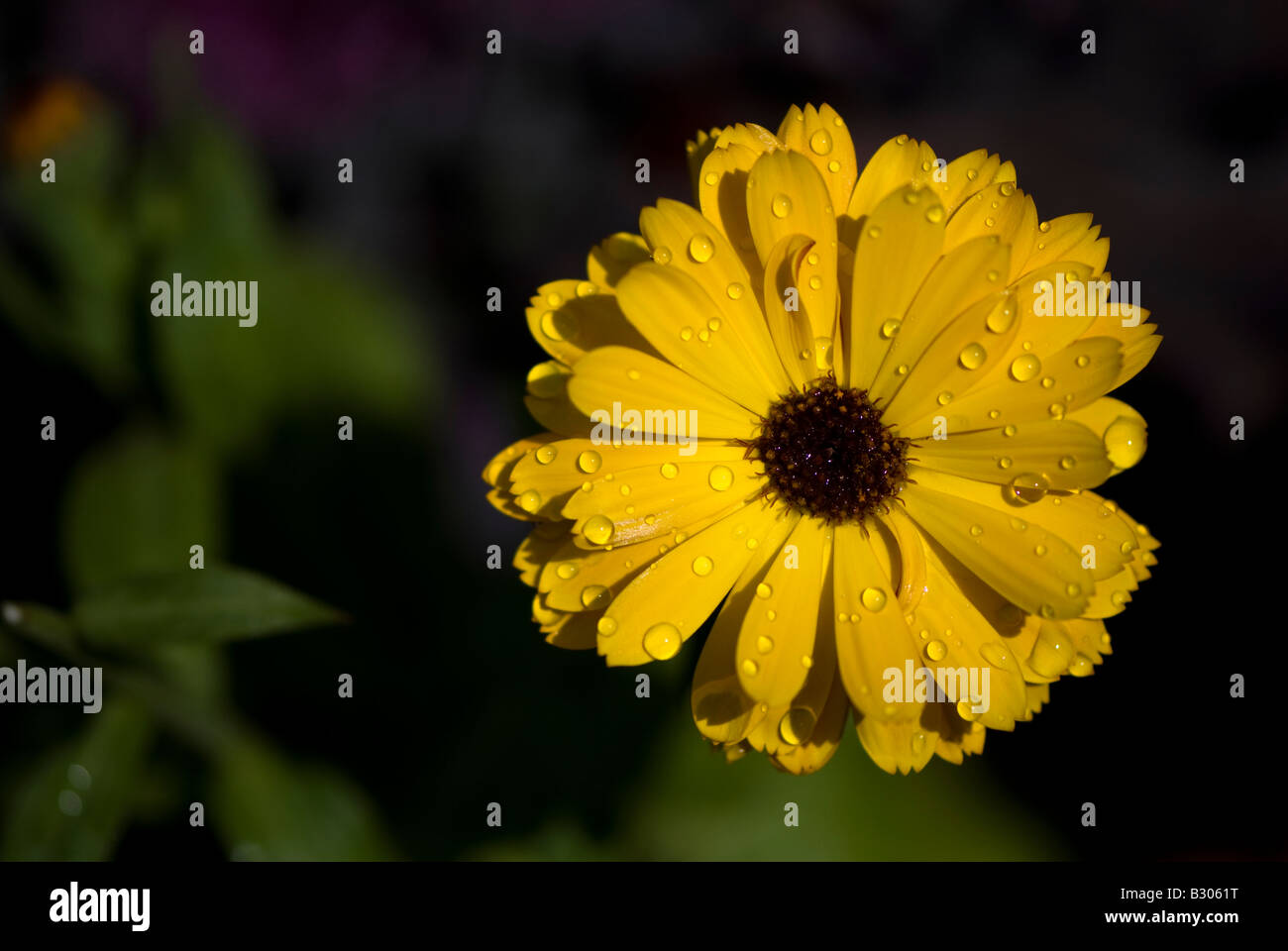 Bright gold mum with water droplets. - Stock Image