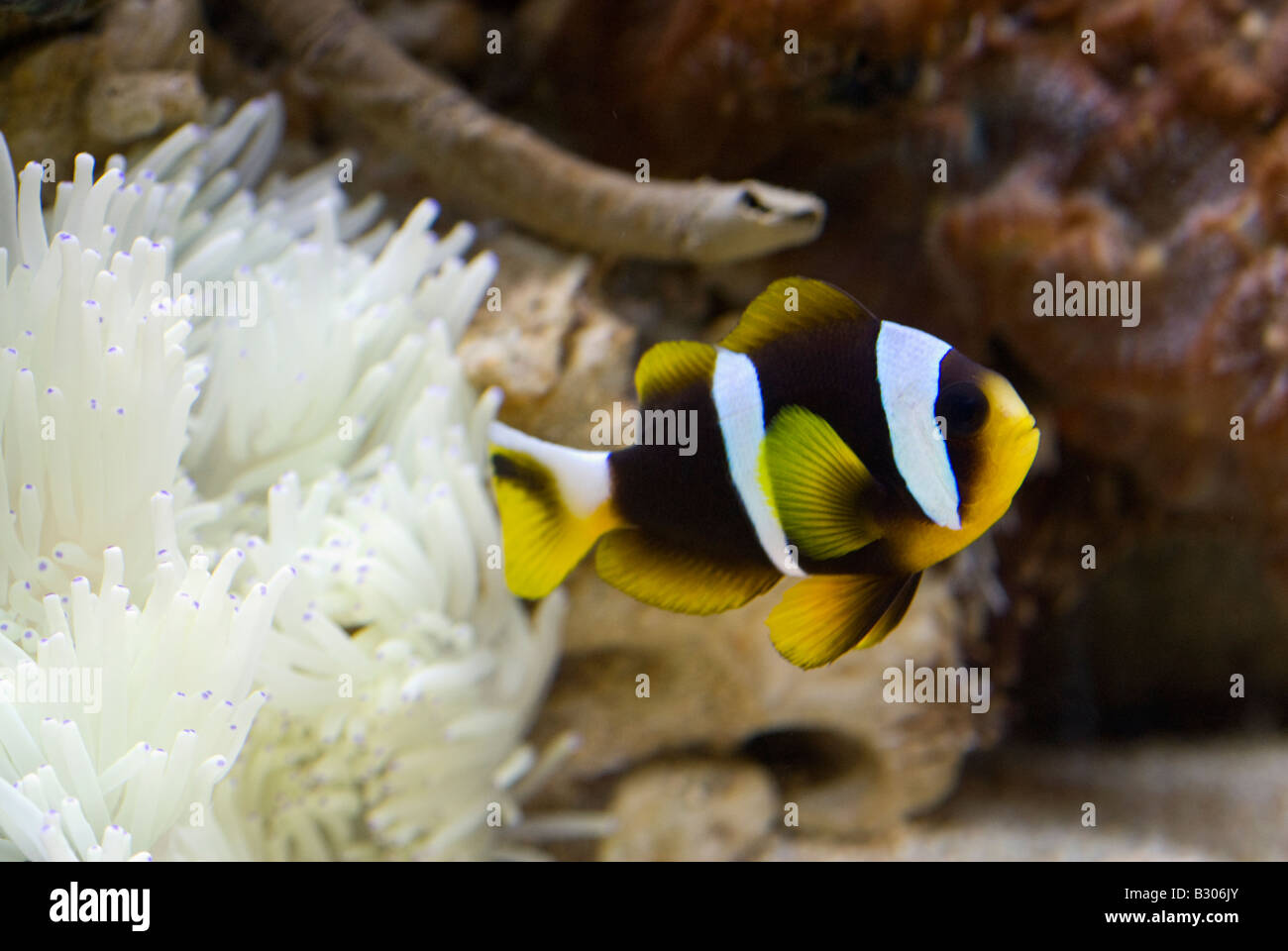 Clown fish, Amphiprion clarckii, Indo-pacific Ocean - Stock Image