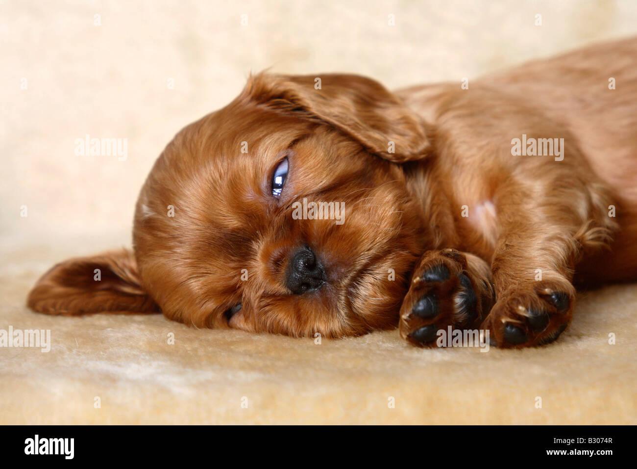 Cavalier King Charles Spaniel puppy ruby 5 weeks REM sleep - Stock Image