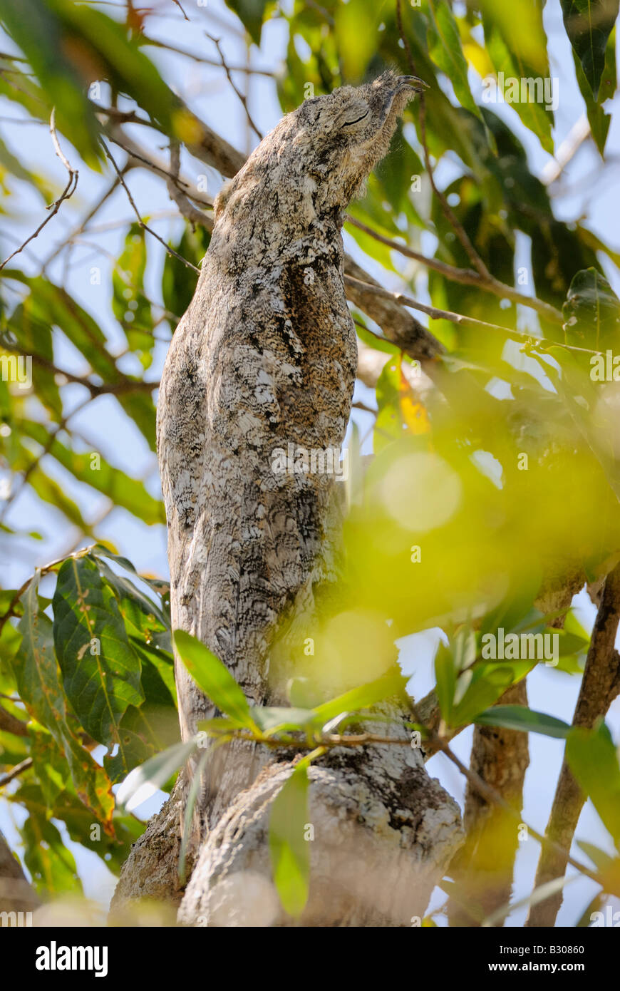 giant or great Potoo, Nyctibius grandis, sitting in a tree, LLANOS, Venezuela, South America - Stock Image